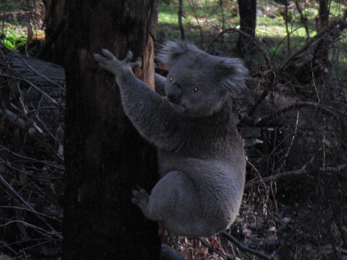 hoarding Koala